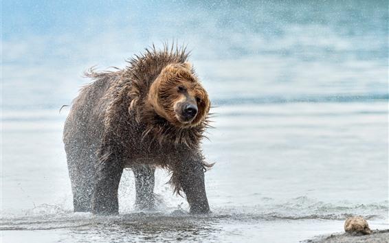 Papéis de Parede Urso, respingos de água, vida selvagem