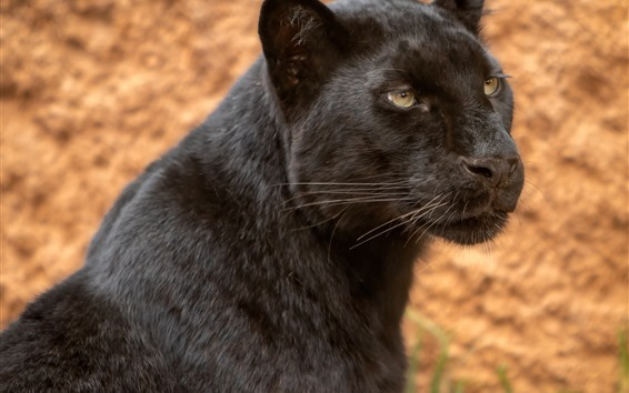 Wallpaper Black panther, look, face, wildlife