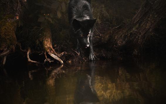 Обои Чёрный волк, жёлтые глаза, вода
