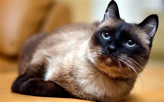 Papéis de Parede Olhos azuis gato olhar para você, animal de estimação