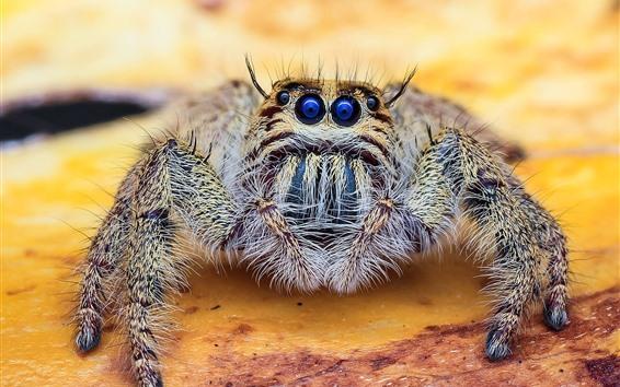 Papéis de Parede Aranha de olhos azuis, inseto