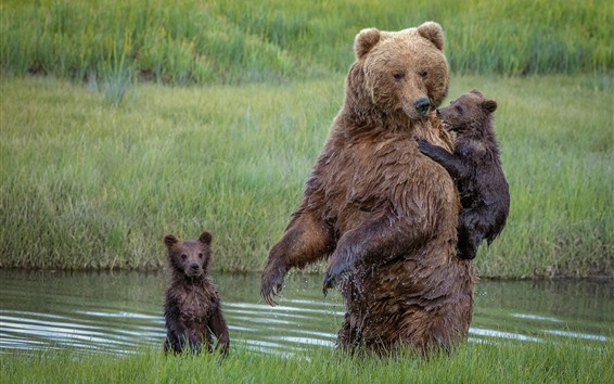 Wallpaper Brown bears, family, cubs, river, grass