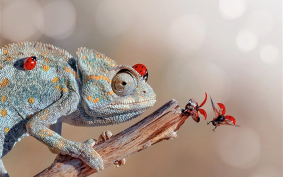 Wallpaper Chameleon and red ladybugs
