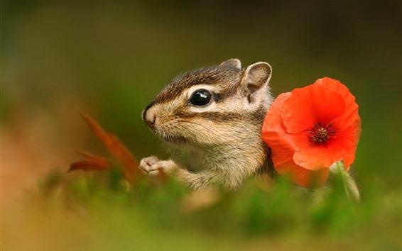 Обои Бурундук и красный цветок мака