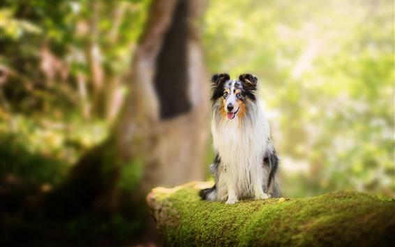 Wallpaper Collie, dog, moss, sit