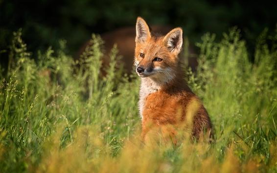 배경 화면 귀여운 여우, 잔디, 자연