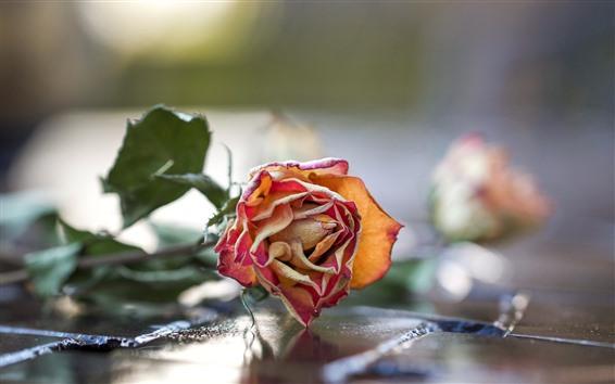 Wallpaper Dry rose flower, petals