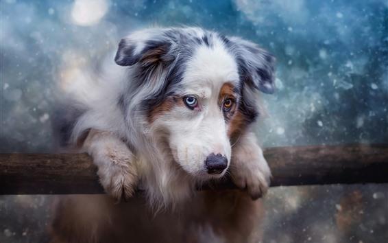 배경 화면 모피 개, 눈, 겨울