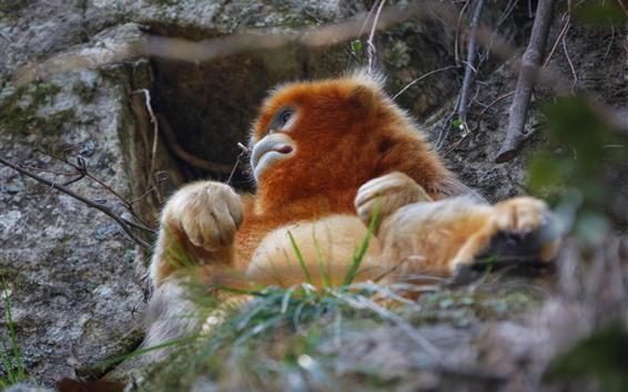 Papéis de Parede Macaco dourado, grama