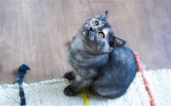 Обои Серый котенок поднимает голову, карие глаза