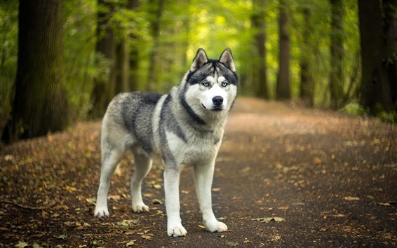 Wallpaper Husky dog, look at you, trees, hazy background