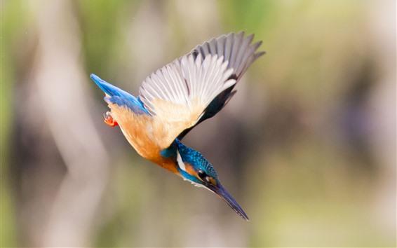 Papéis de Parede Martim-pescador, voo, asas, ataque