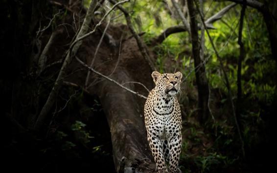 배경 화면 표범, 모습, 숲, 야생 동물
