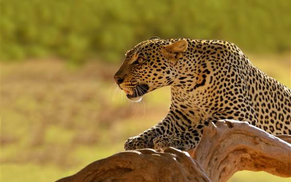 Hintergrundbilder Leopard, Raubtier, Tierwelt