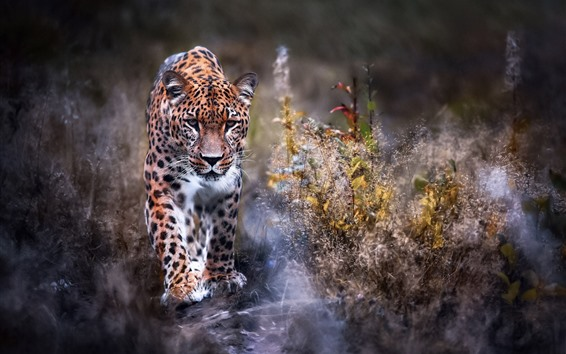 Hintergrundbilder Leoparden gehen zu dir, Vorderansicht, Gras