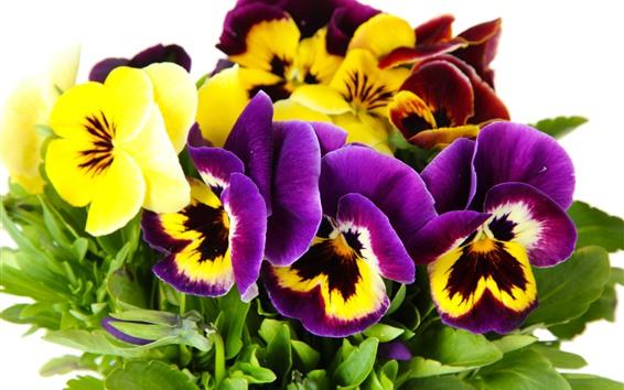 배경 화면 팬지, 보라색과 노란색 꽃
