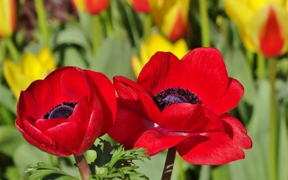 Fondos de pantalla Flores rojas de amapola, pétalos, fotografía macro