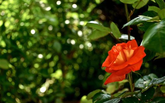 壁紙 赤いバラ、花びら、かすんでいる背景