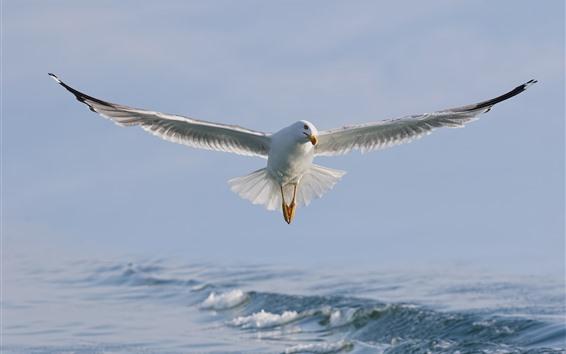 Papéis de Parede Voo de gaivota, asas, pássaro branco, mar