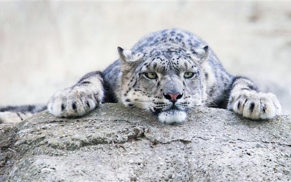 Papéis de Parede Snow leopard, descanso, pedra, olhar, rosto