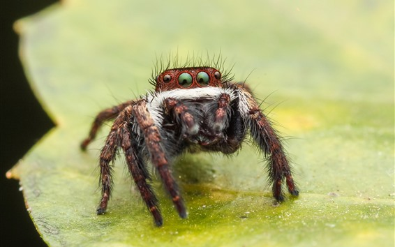 Wallpaper Spider macro photography, eyes, legs, green leaf