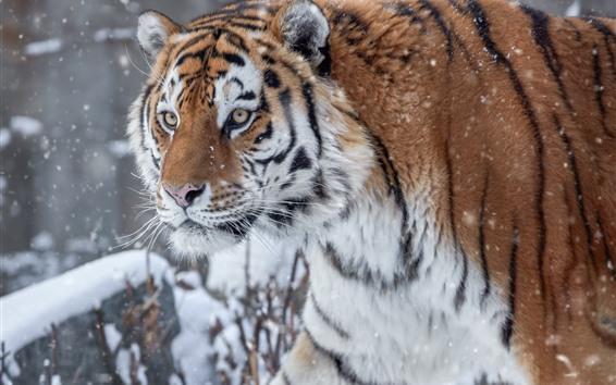 Papéis de Parede Tigre no inverno, neve, rosto, vida selvagem
