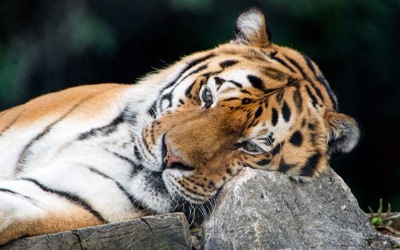 Обои Тигр, отдых, камень, большая кошка