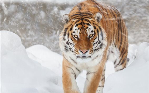 배경 화면 호랑이, 눈, 겨울