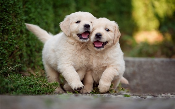 Wallpaper Two cute puppies, play games