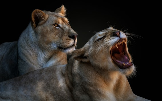Wallpaper Two lioness, yawn