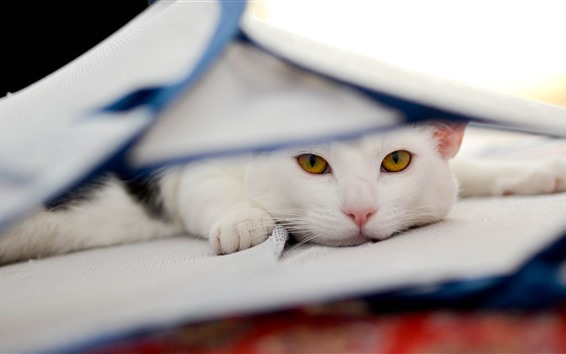 Wallpaper White cat, look, yellow eyes, rest