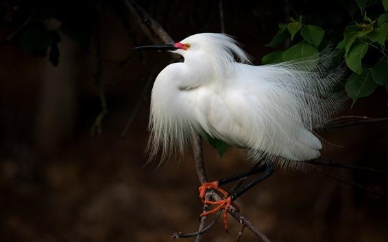 Papéis de Parede Pássaro de penas brancas, Garça-real