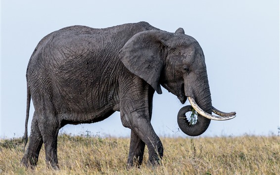 Wallpaper Wildlife, elephant, ears, tusks, grass