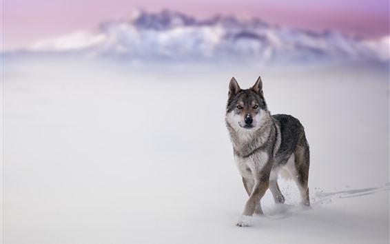 Обои Волк, живая природа, взгляд, снег, зима