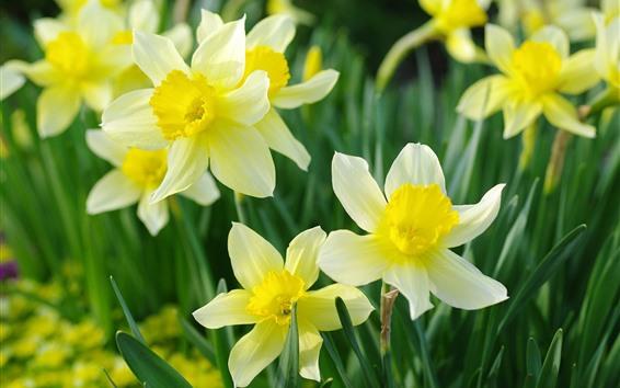 壁紙 黄色い水仙、春、花が咲く