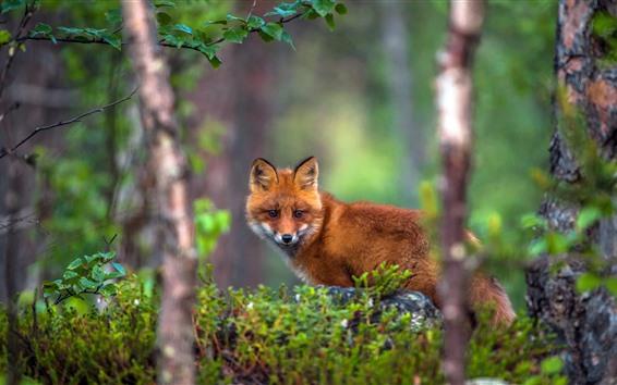 Papéis de Parede Uma raposa, floresta, fundo nebuloso