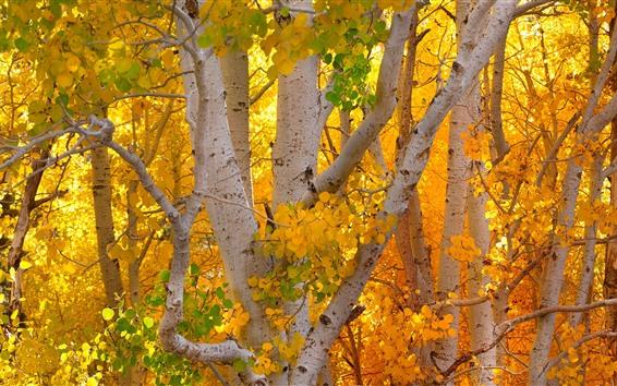 Обои Осень, желтые листья, береза, деревья, ствол