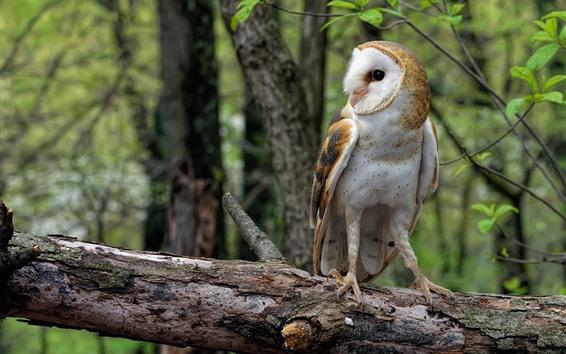 Wallpaper Common barn owl