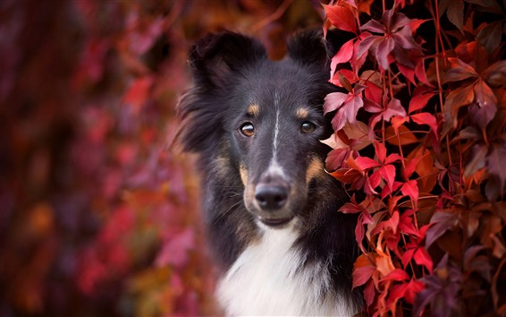 Wallpaper Dog, red leaves, hazy, autumn