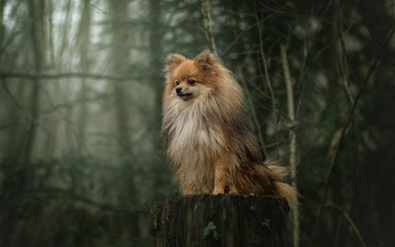 Wallpaper Furry dog, stump, forest