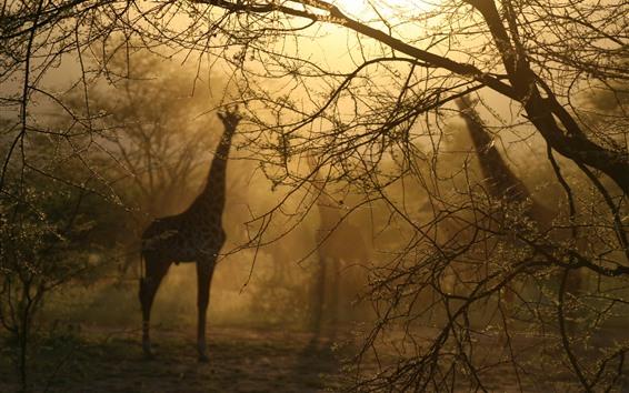Обои Жирафы, деревья, туман, утро, дымка