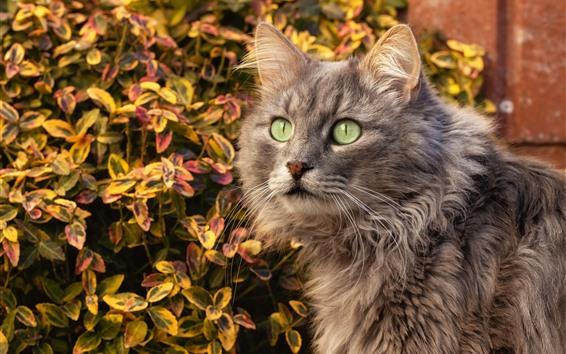 Wallpaper Gray cat, green eyes, autumn