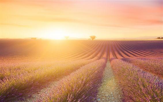 배경 화면 라벤더 꽃밭, 햇빛, 섬광, 아침