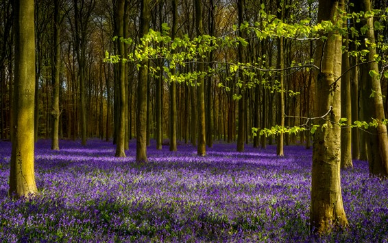 Wallpaper Lavender, purple flowers, trees, spring