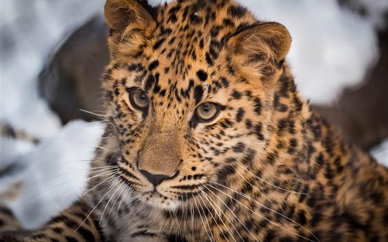 Wallpaper Leopard, wild cat, face, look, eyes