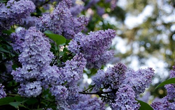 배경 화면 라일락 개화, 보라색 꽃, 봄