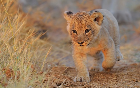 Wallpaper Lion cub walk to you