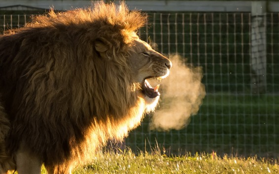 Wallpaper Lion yawn, hot steam