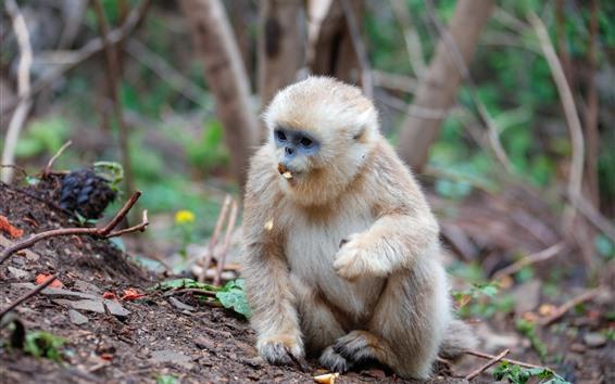 Wallpaper Monkey eating nut