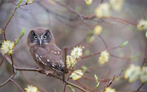Papéis de Parede Uma pequena coruja marrom, olha, galhos